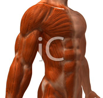 Royalty Free 3d Clipart Image of a Front Side View of a Muscular Male Torso