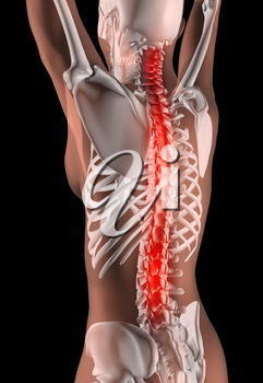 3D render of a female medical skeleton with the spine highlighted