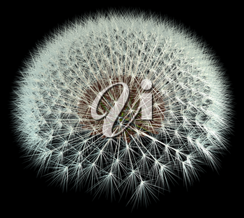 3d Generated dandelion seeds on black background for better viewing. Fibonacci / golden ratio experimentation.