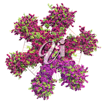 Bushes purple flowers on a white background with green leaves. Gazebo with ivy pergola